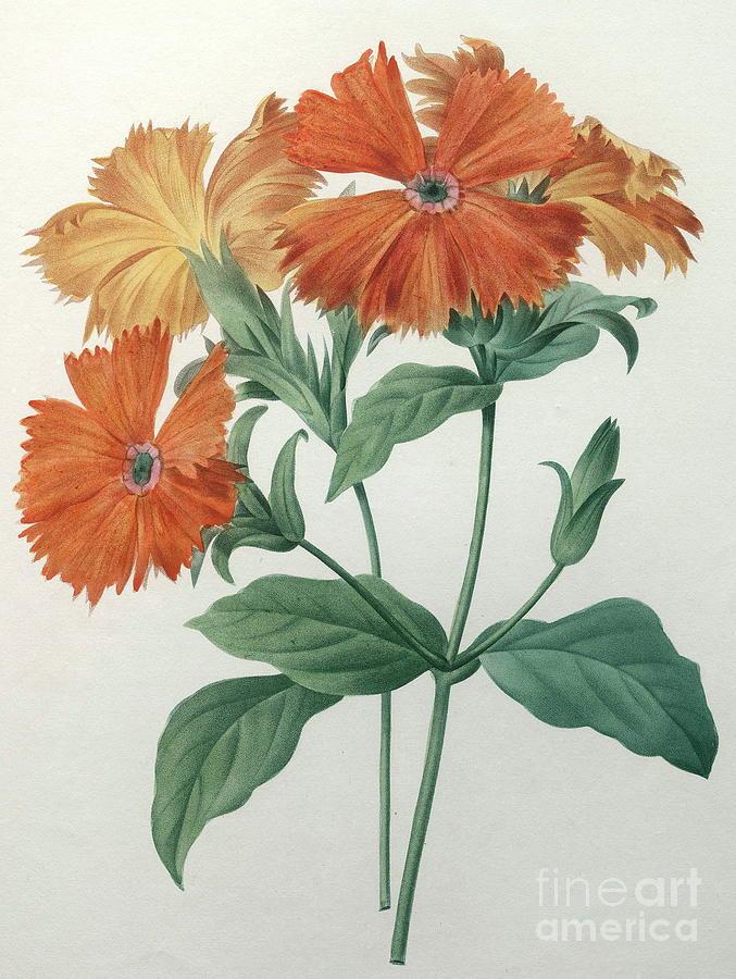 Rose Campion Painting - Orange Rose Campion by Pierre Joseph Redoute