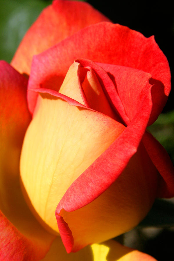 Orange Photograph - Orange Rosebud by PIXELS  XPOSED Ralph A Ledergerber Photography