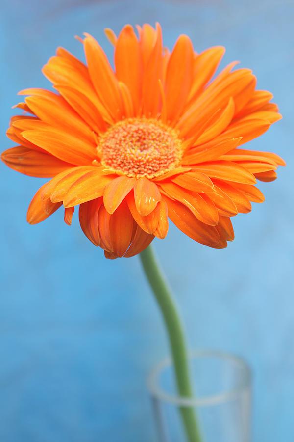 Orange Slanted Gerbera Photograph by Photography by Gordana Adamovic Mladenovic