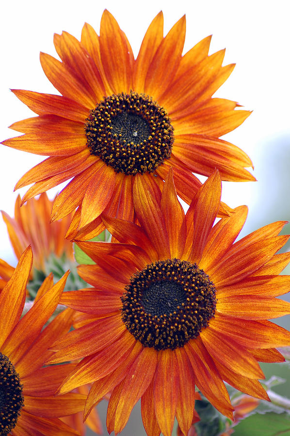Sunflower Photograph - Orange Sunflower 2 by Amy Fose