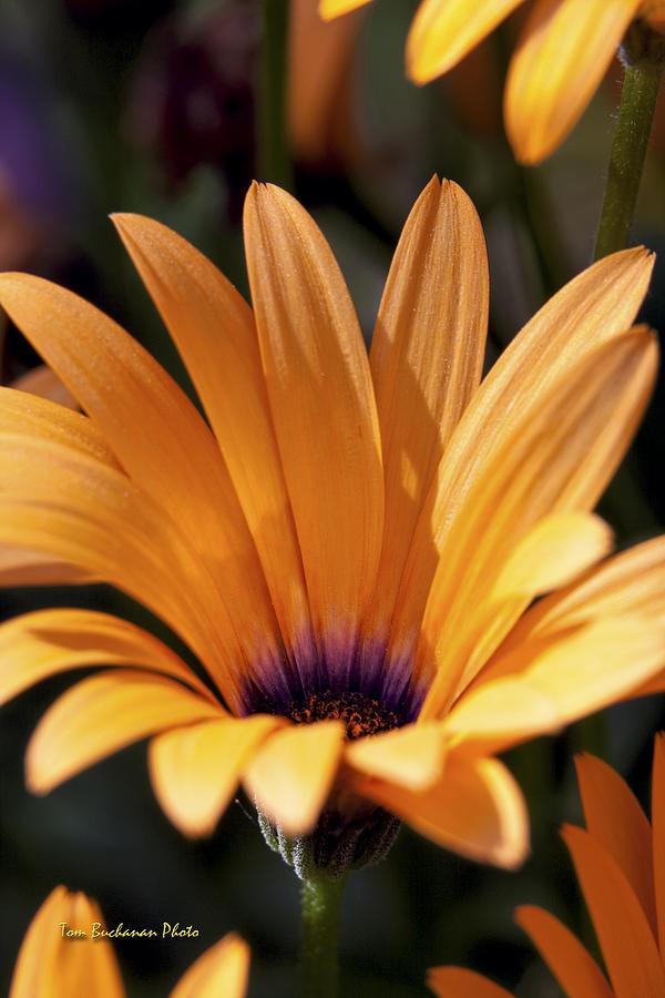 Orange Photograph - Orange Symphony by Tom Buchanan
