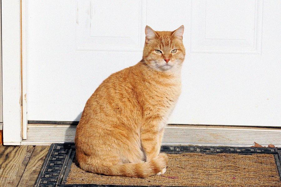 Proud Cat Digital Art - Orange Tabby Cat by Jana Russon