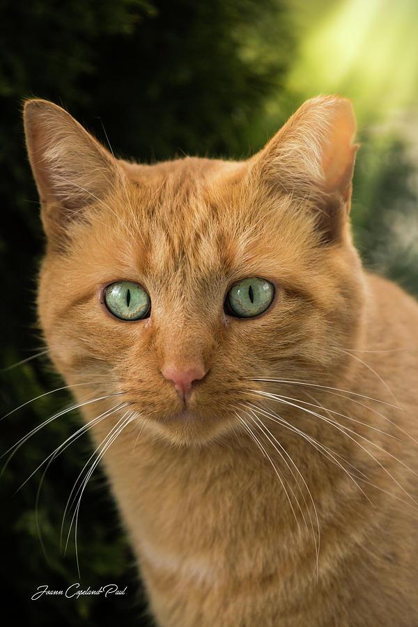 Orange Tabby Cat by Joann Copeland-Paul