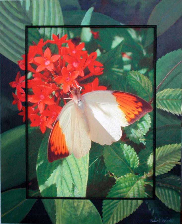 Butterfly Mixed Media - Orange Tip by Robert Boynton