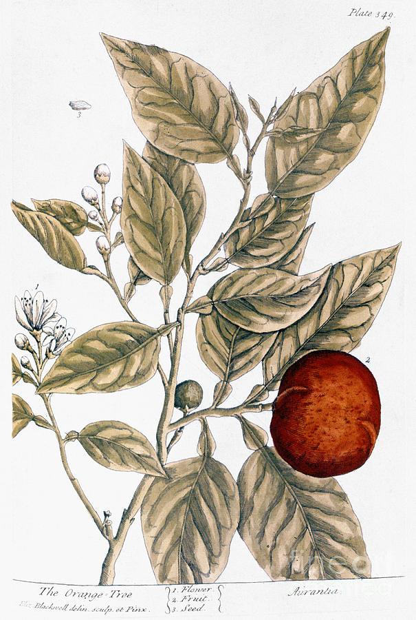 1730s Photograph - Orange Tree, 1735 by Granger