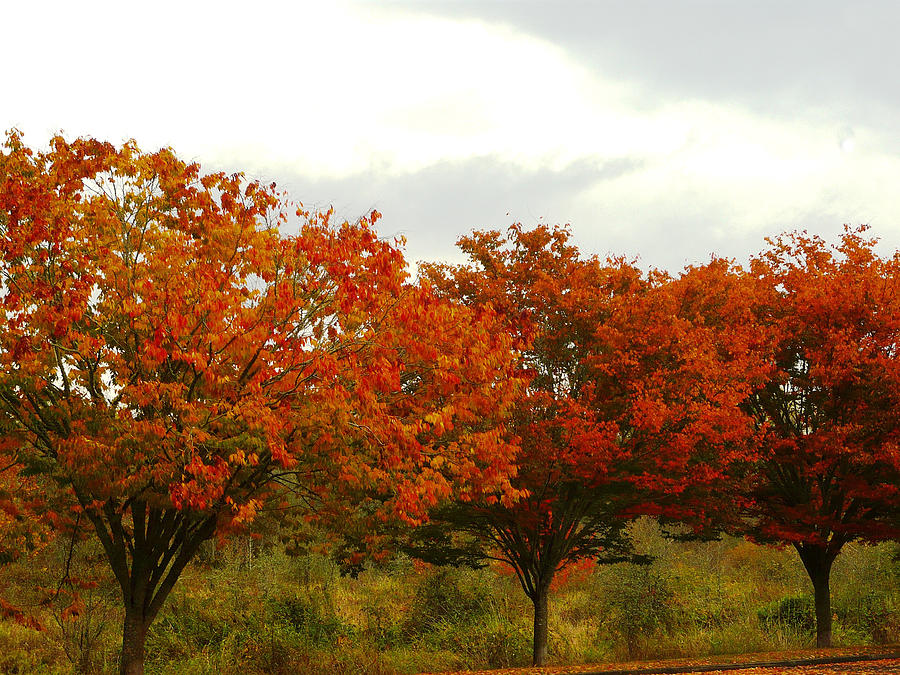 Trees Photograph - Orange Trees At Minto Brown by Katherine Adams