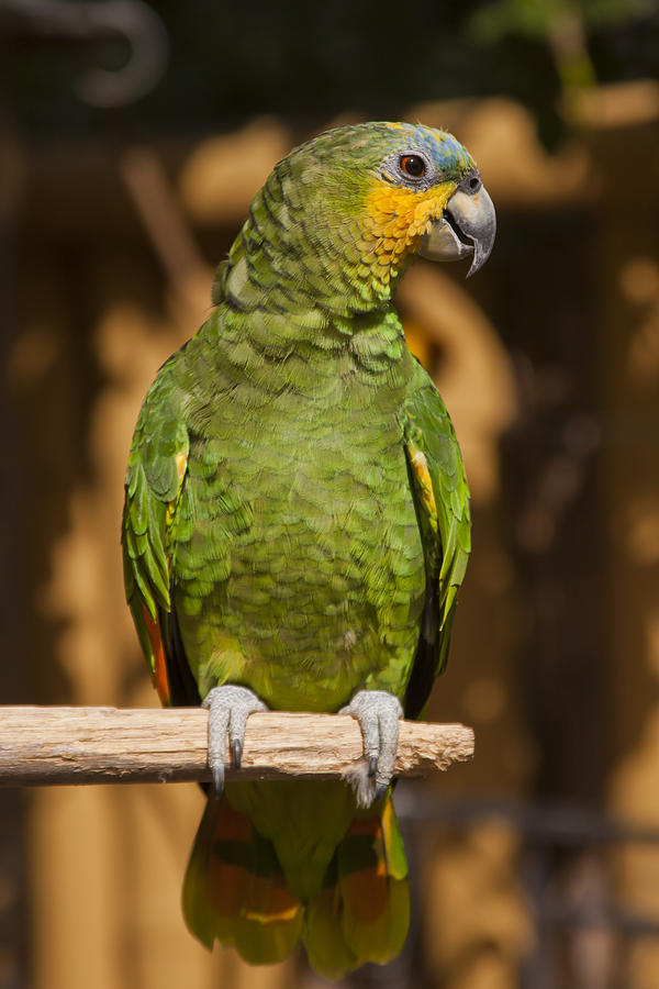3scape Photos Photograph - Orange-winged Amazon Parrot by Adam Romanowicz