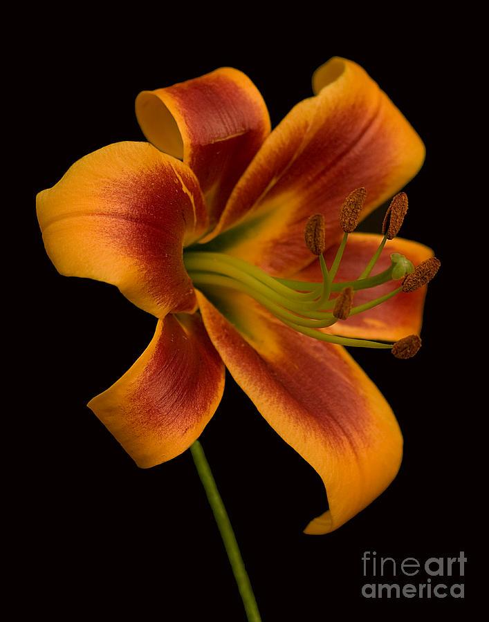 Lily Photograph - Orange Wonder by Robert Pilkington