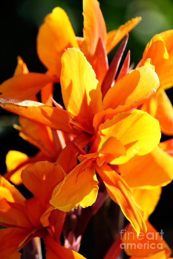 Orange-Yellow Canna Flowers by Jackie Farnsworth
