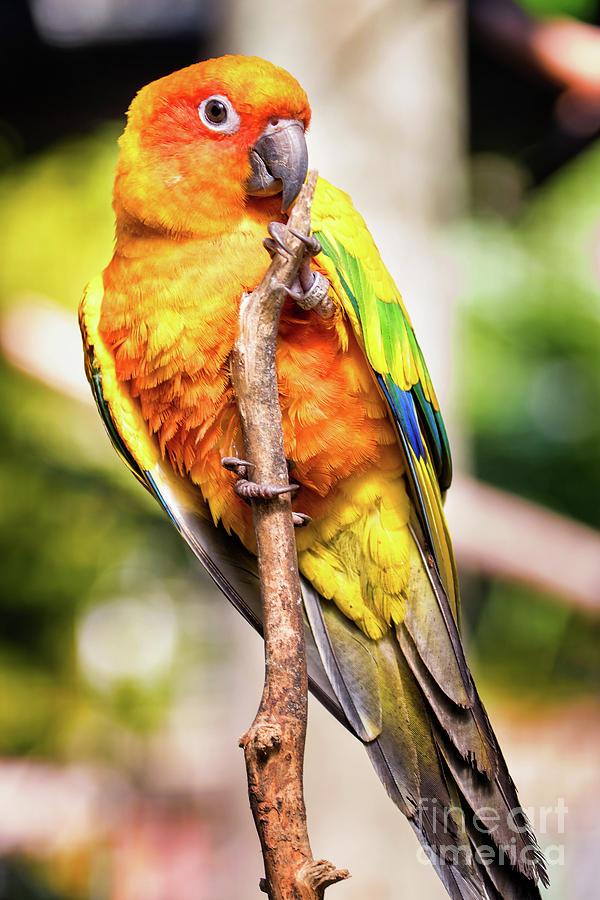 Orange Yellow Parakeet by Stephanie Hayes
