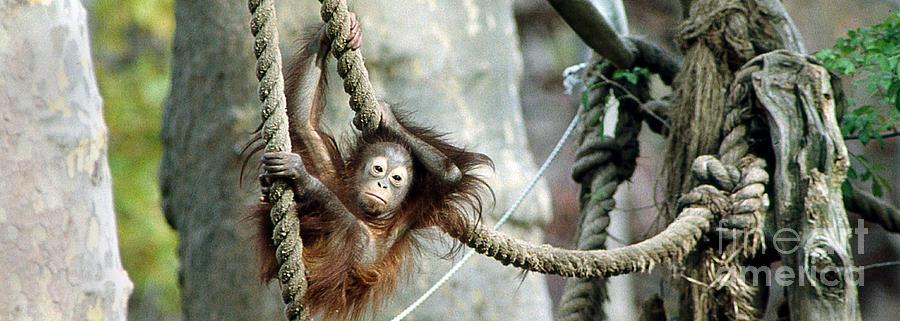 Orangutan 5 by Rich Killion