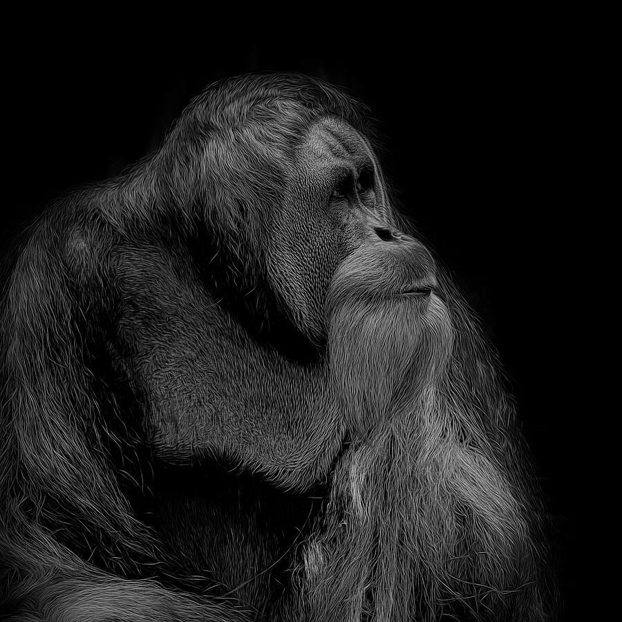 Orangutan Photograph - Orangutan Male Looking Up by David Gn