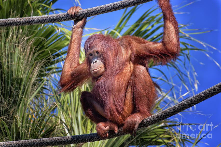 Orangutan on ropes by Stephanie Hayes