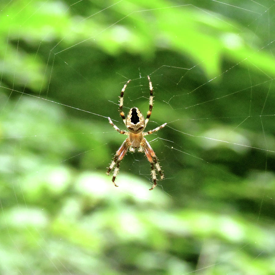 Spider Photograph - Orb Weaver by Azthet Photography