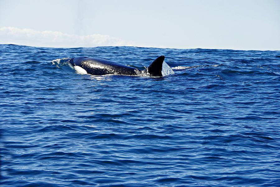 Killer Whale Photograph - Orca by Marilyn Wilson