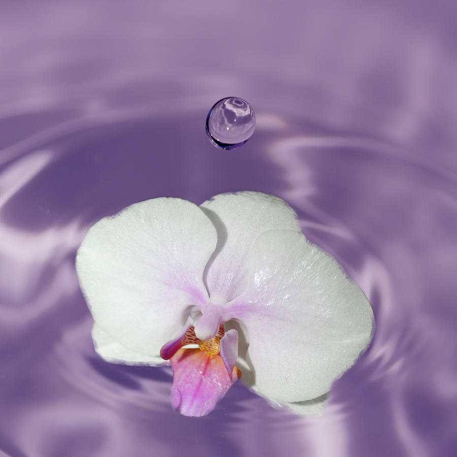 White Orchid Water Drop Photograph