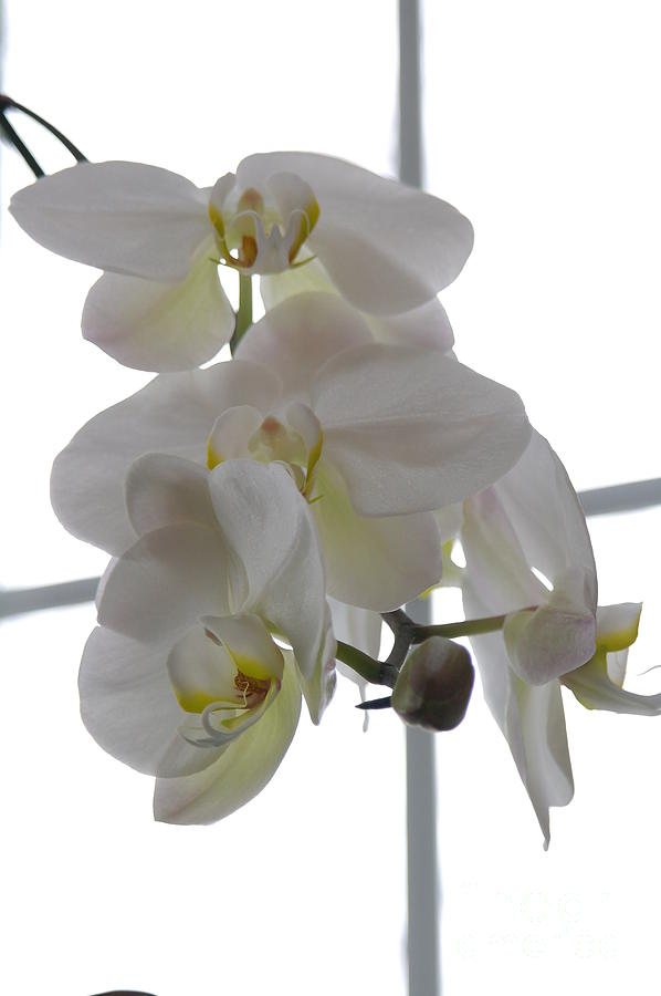 Orchid Photograph - Orchid - 101 by David Bearden