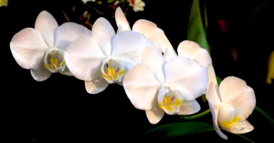 Orchid Photograph - Orchid-0099 by Sean Shaw