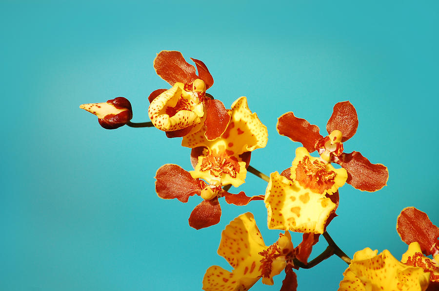 Orchid 1  Photograph by Daniel  Powell