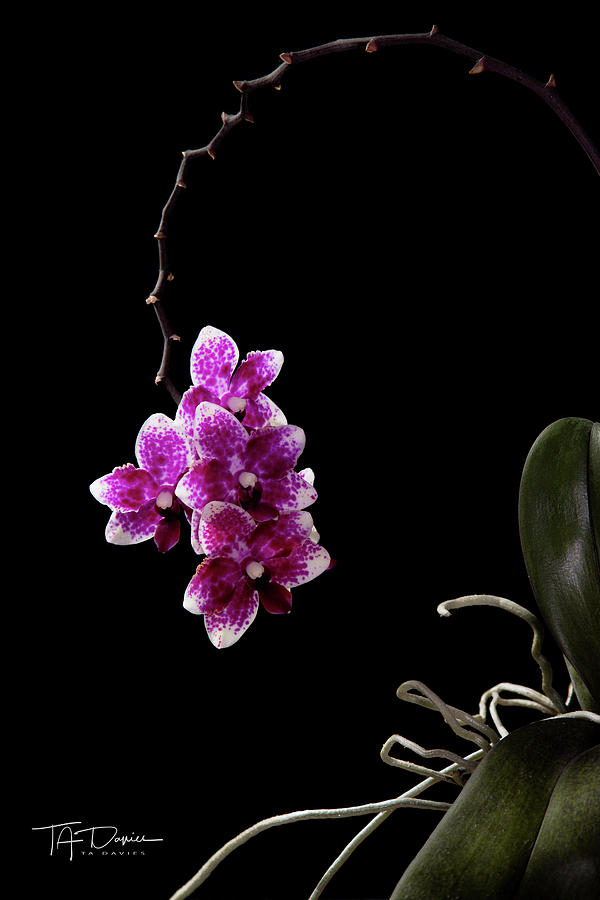 Orchid 1 by T A Davies