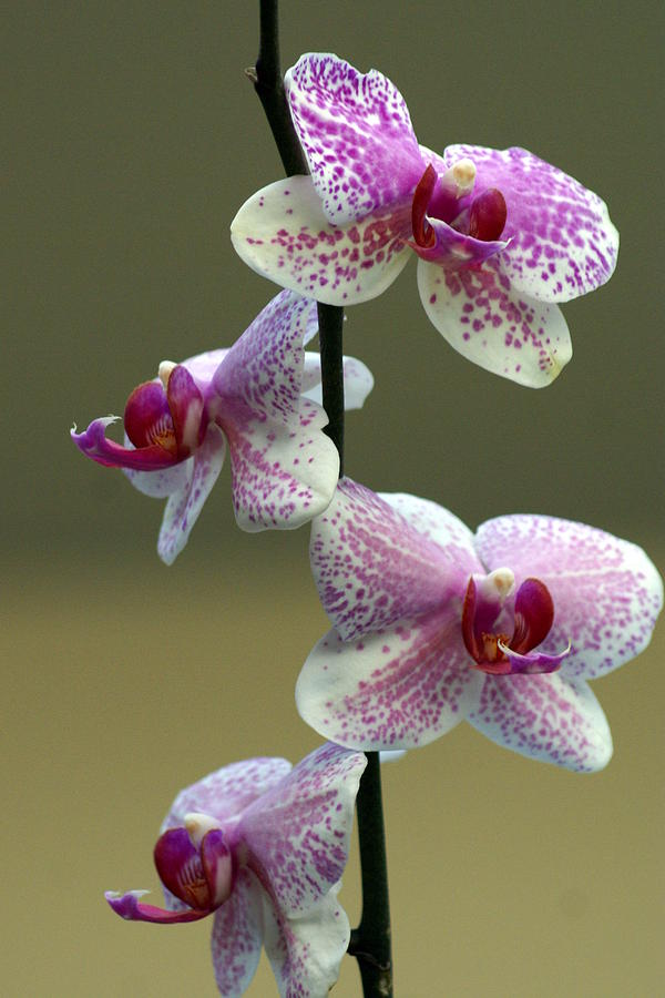 Flower Photograph - Orchid 16 by Marty Koch