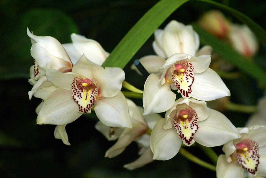Flower Photograph - Orchid 3 by Marty Koch