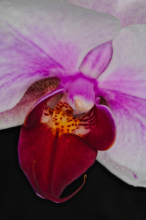 Orchid 376 by Wesley Elsberry