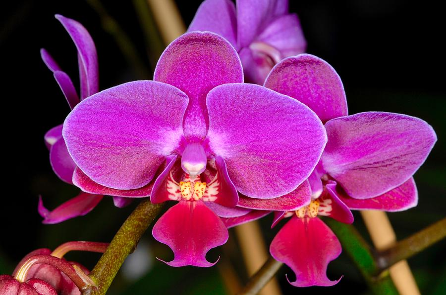 Orchid 422 by Wesley Elsberry