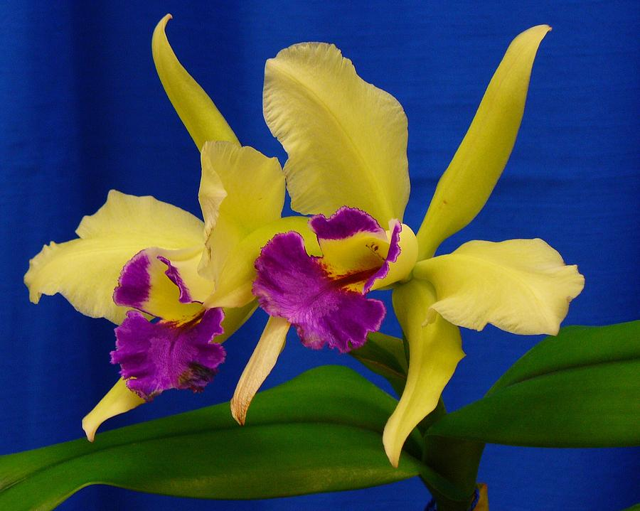 Orchids Photograph - Orchid 7 by Peggy King