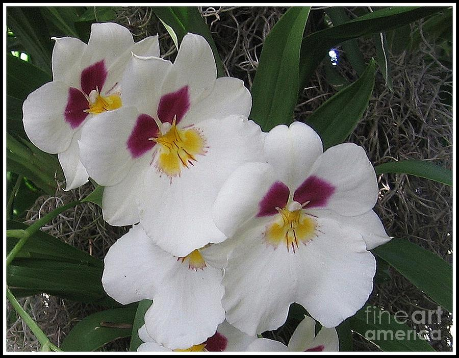 Orchid Photograph - Orchid Beauties by Dora Sofia Caputo Photographic Design and Fine Art
