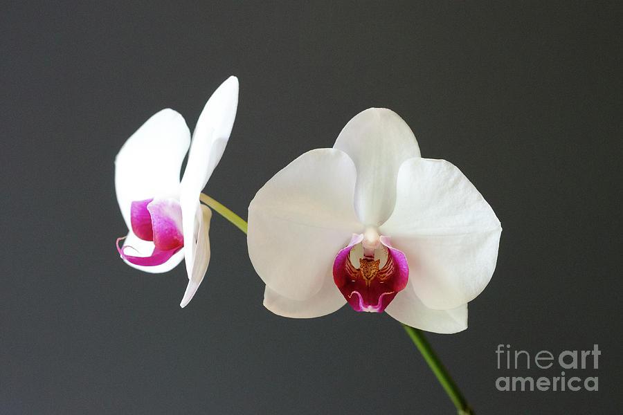 Orchid Photograph - Orchid Blooms by Laurel Best