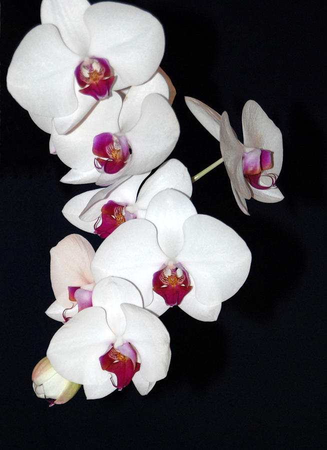 ORCHID CLUSTER by Margaret Fortunato
