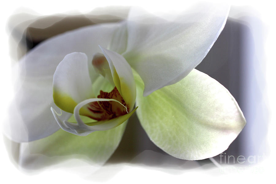 White Orchid Photograph - Orchid for Valentines Day by David Bearden