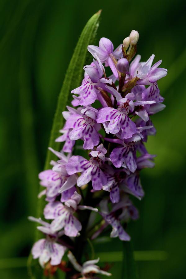 Orchid by Ian Sanders