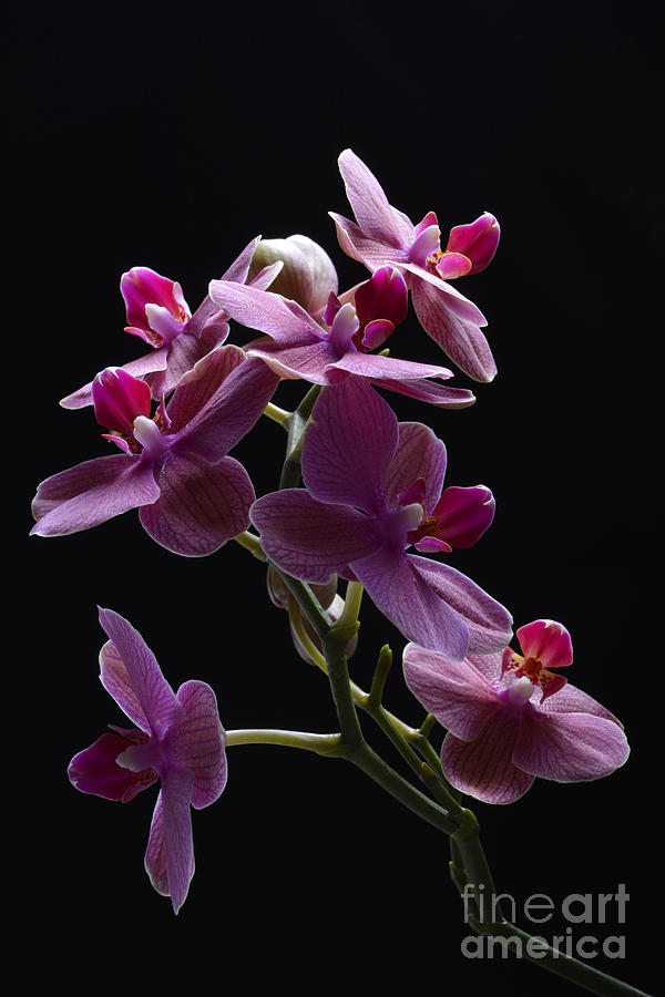 Orchid In Flight Photograph