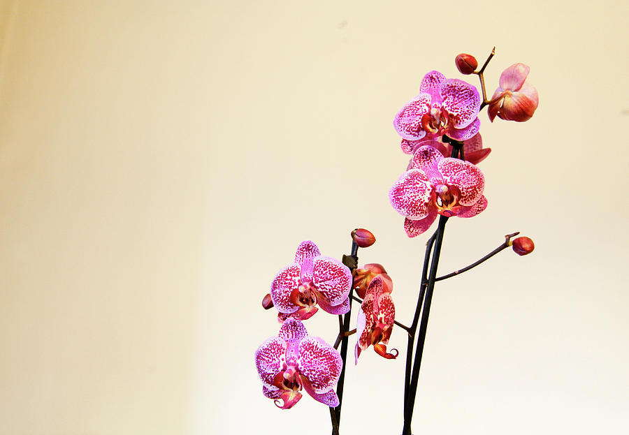 Blossom Photograph - Orchid Indoor by Freepassenger By Ozzy CG