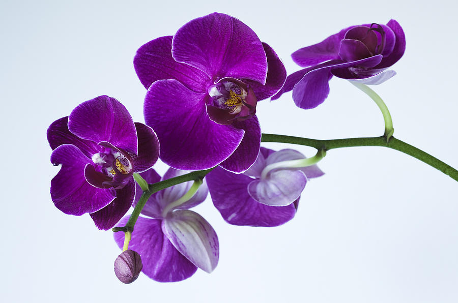 Orchid Photograph - Orchid No. 2 by Harry H Hicklin