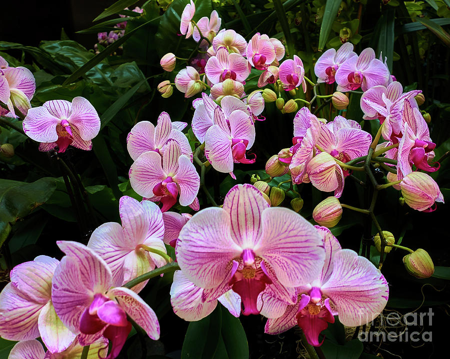 Orchid Parade by Steve Ondrus