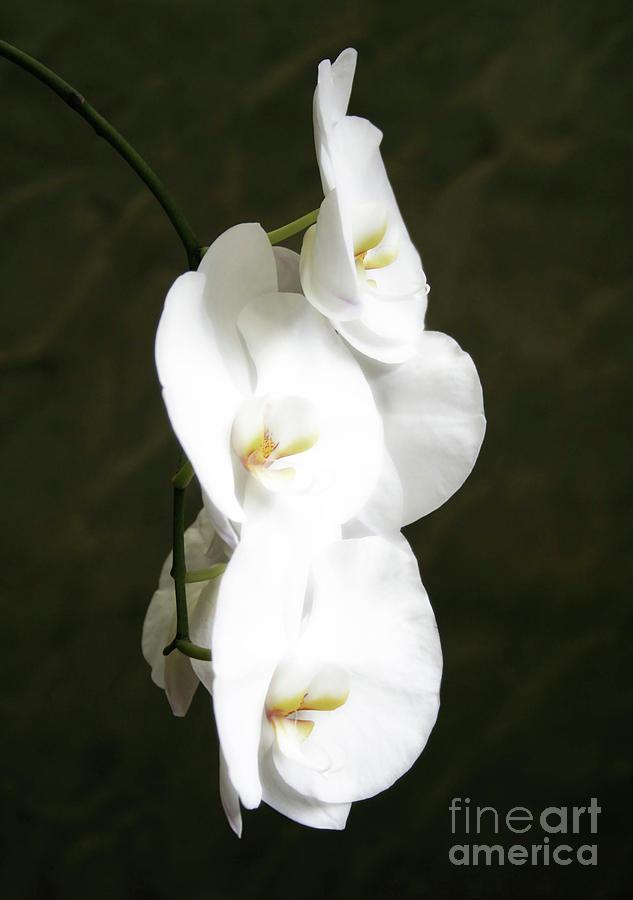 Orchid Portrait Photograph by Jennie MacDonald