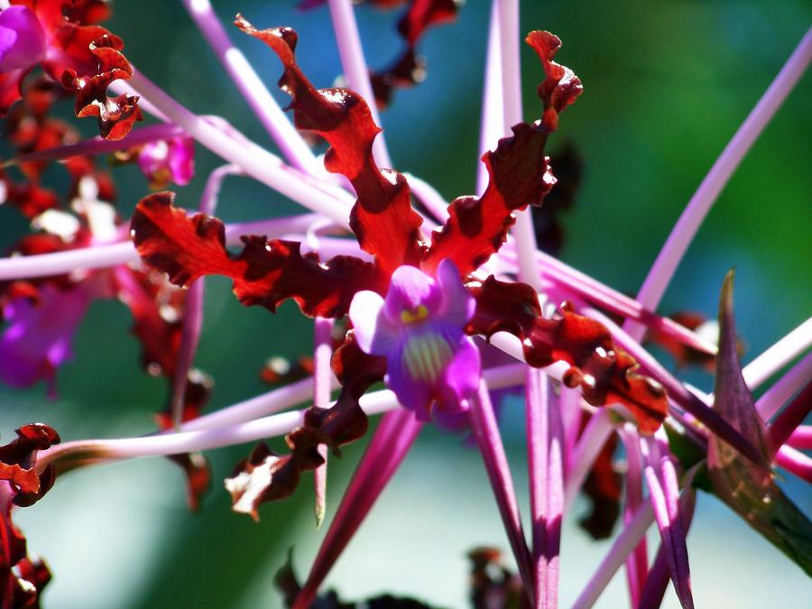 Orchids Photograph - Orchid Spider by Karen Wiles