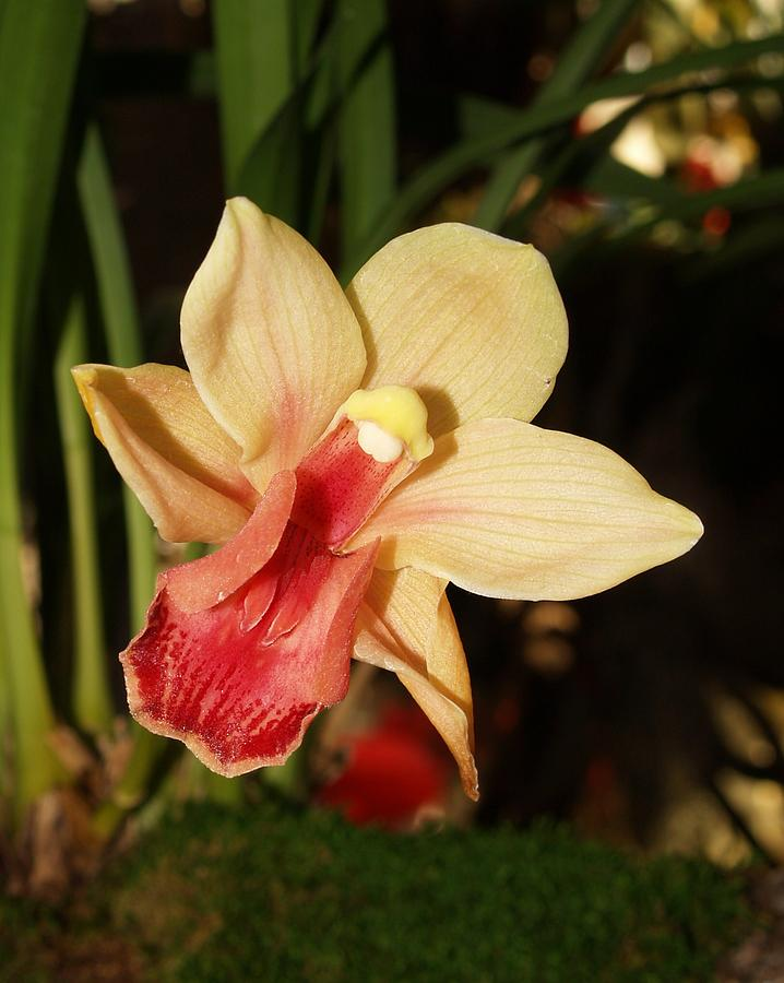 Flowers Photograph - Orchid With Red Lips by James Johnstone