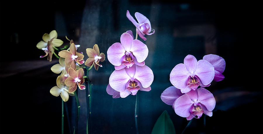 Flowers Photograph - Orchidae by Maggie Terlecki