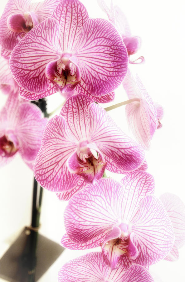 Orchids by Dan Stone