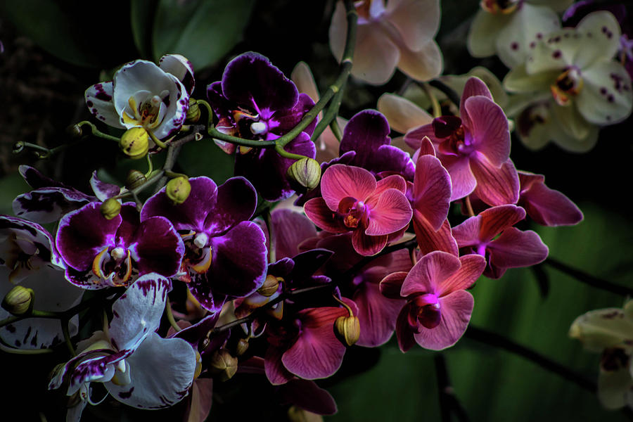 Orchids In Bloom Photograph By Luis Rosario