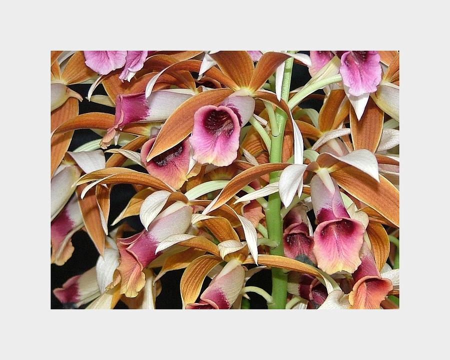 The Orchids Mass Together In The Tones Of Pink And Carmel. It's A Richly Detailed Photo Of One Of The Most Beautiful Of Tropical Flowers. Photograph - Orchids In Bloom by Mindy Newman