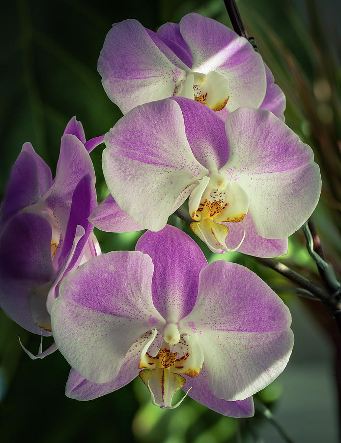 Stock Photograph - Orchids by Joshua Corrigan