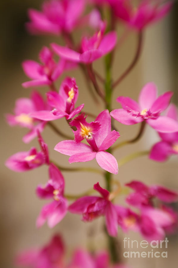 Beautiful Photograph - Orchids On Stem by Ron Dahlquist - Printscapes