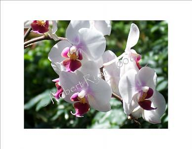 Flowers Photograph - Orchids by Robert Ryan