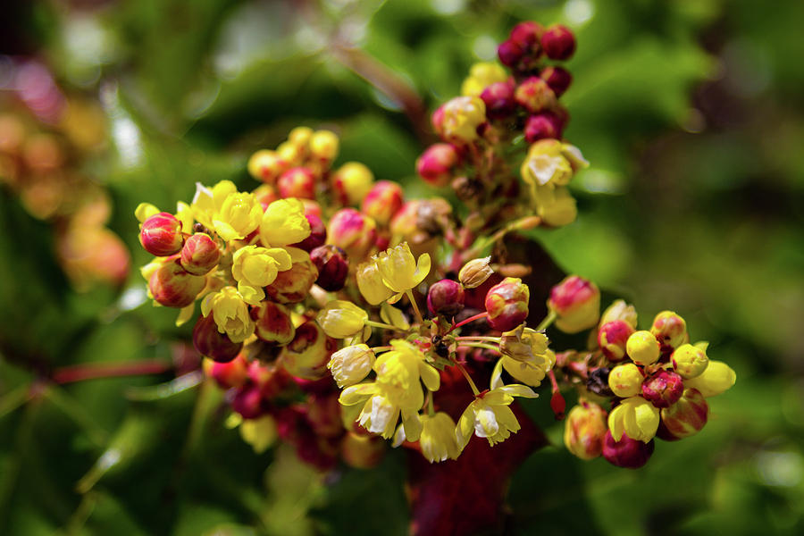 Oregon grape holly flowers photograph by aashish vaidya flower photograph oregon grape holly flowers by aashish vaidya mightylinksfo