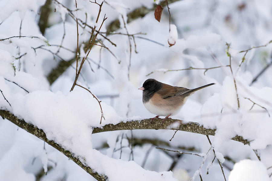Dark Eye Photograph - Oregon Junko in Snow by Brian Bonham